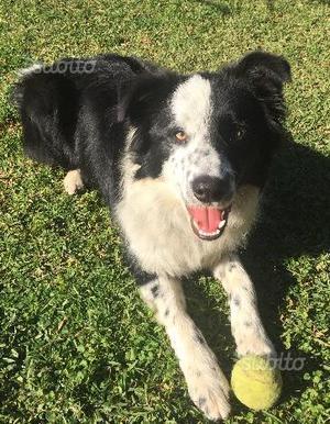 Border Collie cucciolone con pedigree