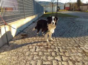 Border collie con pedigre