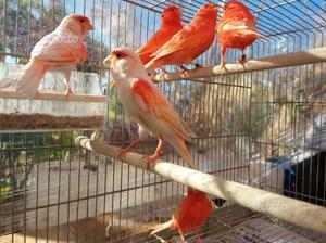 Canarini rossi, avorio e rosso mosaico, giallo m
