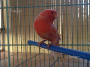 Canarino rosso brinato