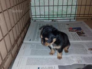 Chihuahua super toy pelo lungo