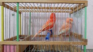 Coppia di canarini rossi anellati