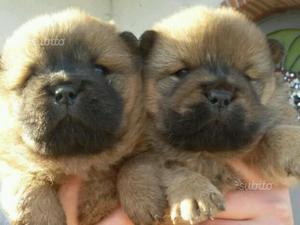 Cucciole Chow Chow