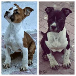 Cuccioli American Staffordshire Terrier (Amstaf)