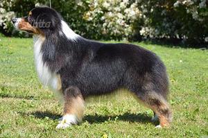 Cuccioli australian shepherd