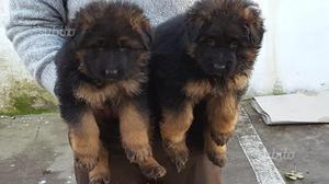 Cuccioli pelo lungo Pastore tedesco con pedigree