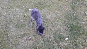 Cucciolo bracco pointer di 6 mesi