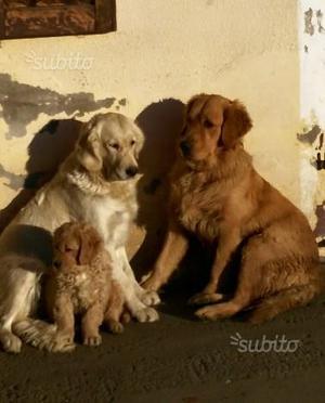Cucciolo di golden retriever con pedigree