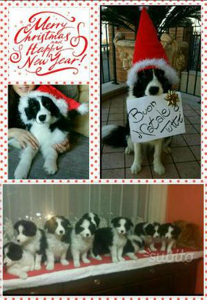 DISPONIBILI CUCCIOLI DI BORDER COLLIE con pedigree