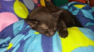 Gattino tutto nero giocherellone e affettuoso
