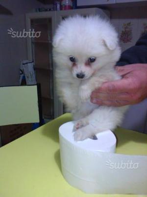 Spitz Pomerania toy
