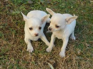 Stupendi cuccioli Chihuahua mini
