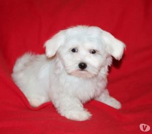 Maltese, cucciola di taglia piccola