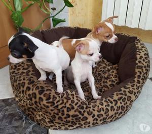 Chihuahua cuccioli pelo corto