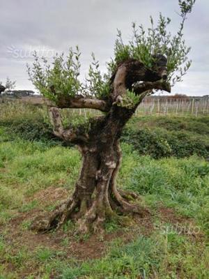 Ulivi piante posot class for Acquisto piante ulivo