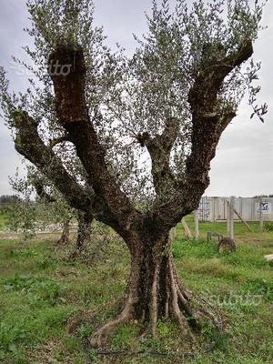 cedo vendo ulivi ulivo per giardino2 posot class