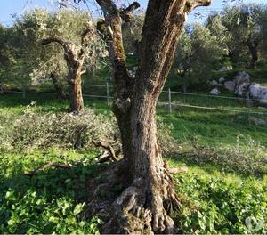 piante di ulivo secolare posot class