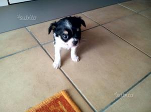 Chihuahua femmina 3 2 0 trattabile