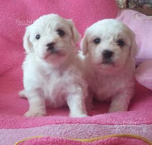 Maltese cuccioli taglia piccola