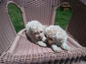 BARBONCINI Miniatura Toy cuccioli