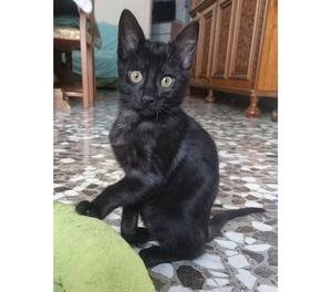 Kimbra, gattina vellutata di 3 mesi