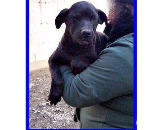 PESTE stupenda cucciola 5 mesi labradorina in canile, cerca