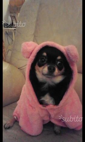 Chihuahua taglia mini mini
