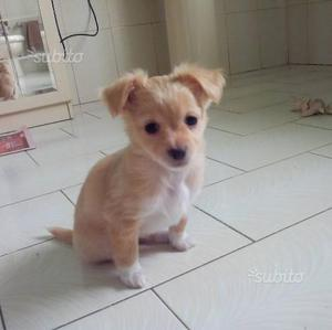 Cuccioli di cihuahua 2 mesi