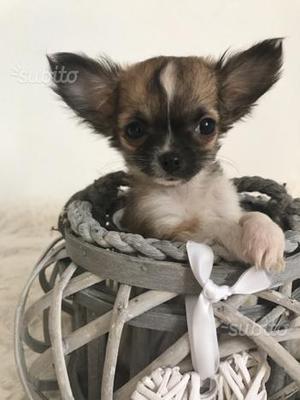 Cucciolo chihuahua maschio pelo lungo