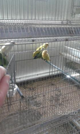 Pappagalli inseparabile