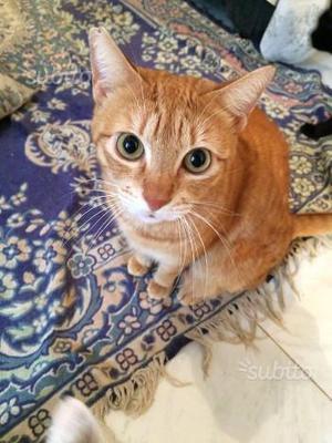 Perla, gattina rossa di 1 anno, in adozione