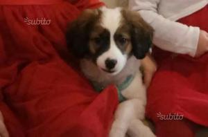 Regalo cagnolino di 2 mesi