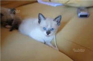 Siamese gattina