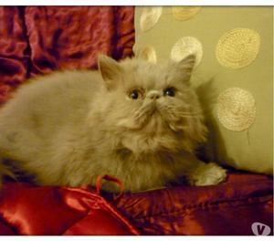 Gattini persiani maschi