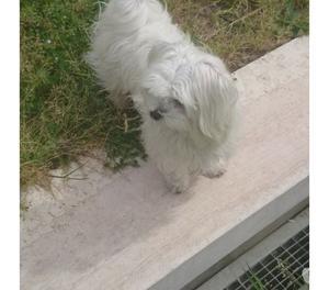 Maltese toy cucciola
