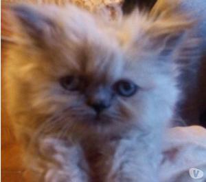 Tenerissimi gattini persiani