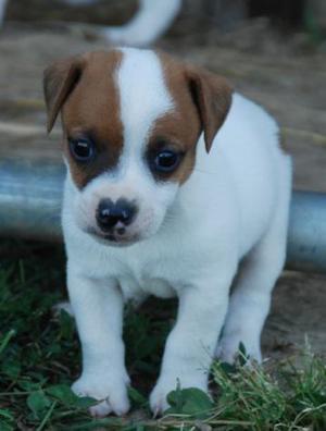 """(REGALO)-Due cuccioli JACK RUSSEL maschio e femmina""""DONO"""