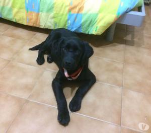 Regalo cucciola di Labrador di 4 mesi bellissima!