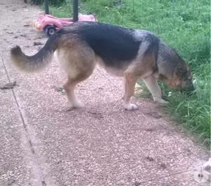 Regalo splendida cagnolina di due anni incrocio pastore tede
