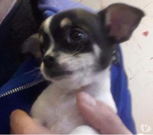 Chihuahua maschio toy