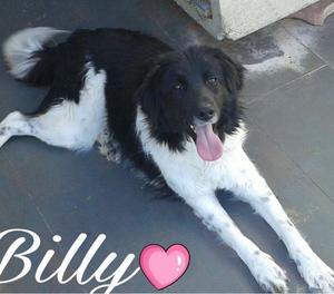 Billy cucciolone mix border collie in adozione