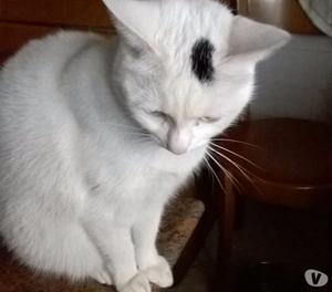 Dono giovane gatta bianca sterilizzata
