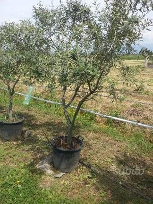 Piante di ulivo con vaso a eta di 5 anni