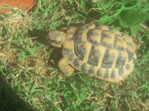 Tartaruga di terra maschio per una femmina