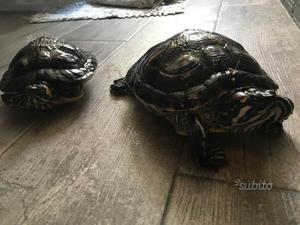 Radiata tartarughe e testuggini di aldabra posot class for Vaschetta tartarughe prezzo