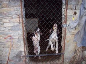 Cane cucciolo 6 mesi ariegeois segugio