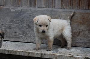 Cucciola di 2 mesi simil pastore