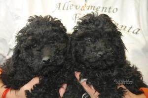 Cuccioli Barboncino Toy Nero