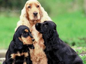 Cuccioli di cocker spaniel inglese