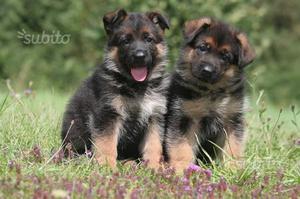 Cuccioli di pastore tedesco un vero incanto